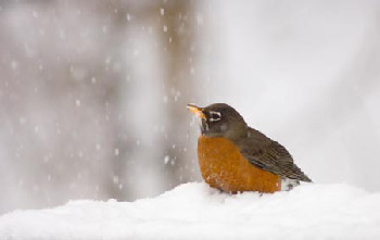 robin-in-snow.jpg